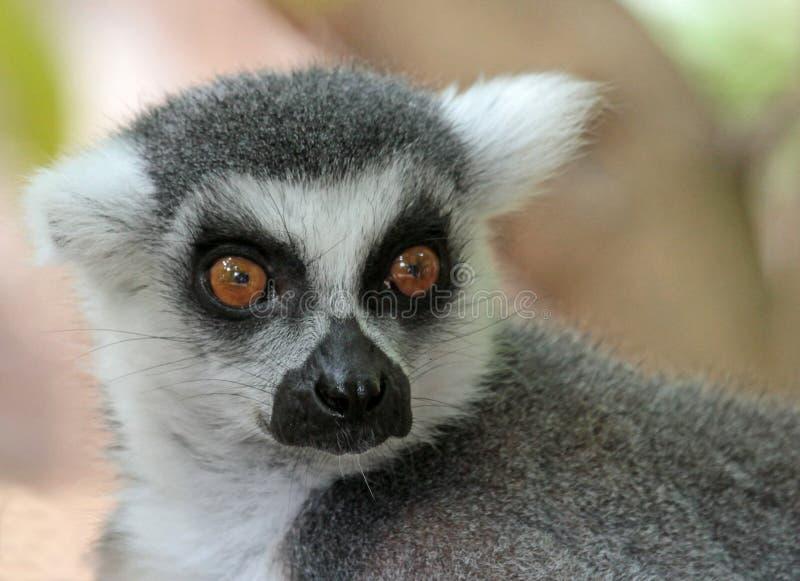 Lemur. Ring-tailed Lemur Close Up Portrait royalty free stock photos
