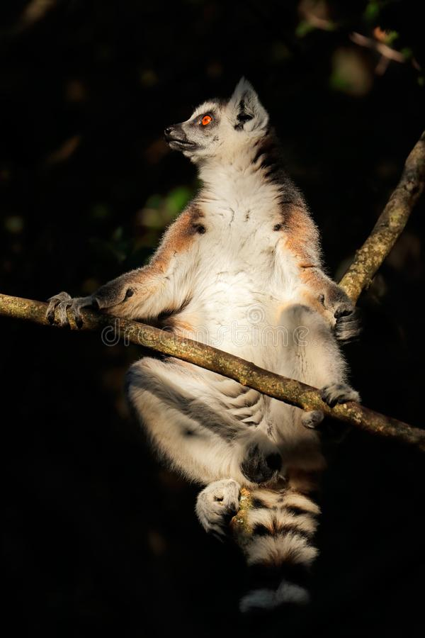 Lemur Ring-Tailed dans un arbre photo libre de droits