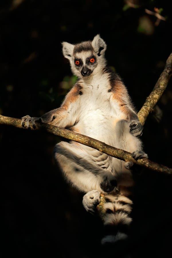 Lemur Ring-Tailed dans un arbre photographie stock