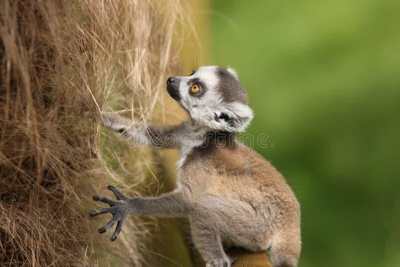 Lemur Ring-Tailed de chéri photographie stock