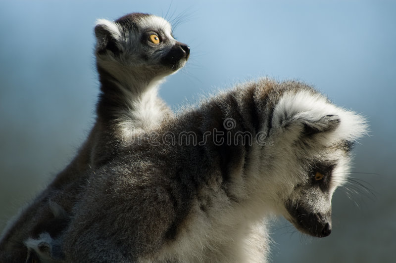 Lemur ring-tailed de chéri photo stock