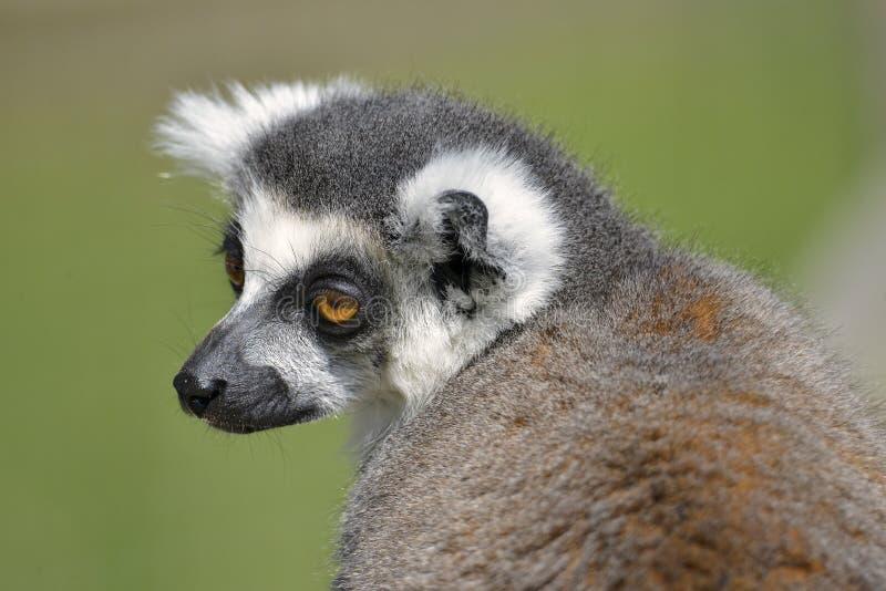 Lemur ring-tailed de verticale images stock