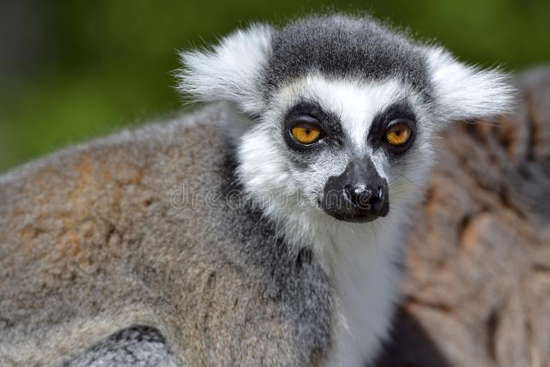Lemur ring-tailed de verticale image stock