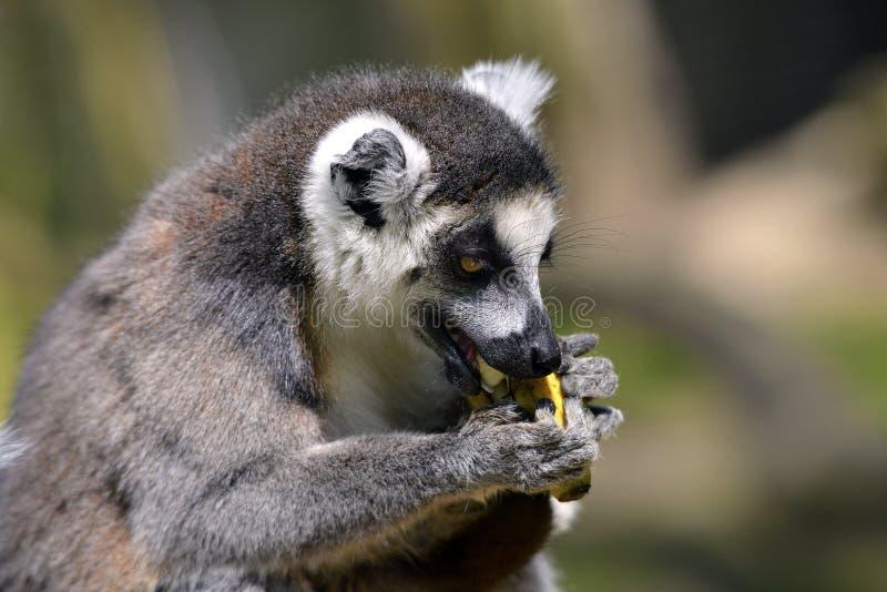 Lemur ring-tailed del ritratto immagini stock
