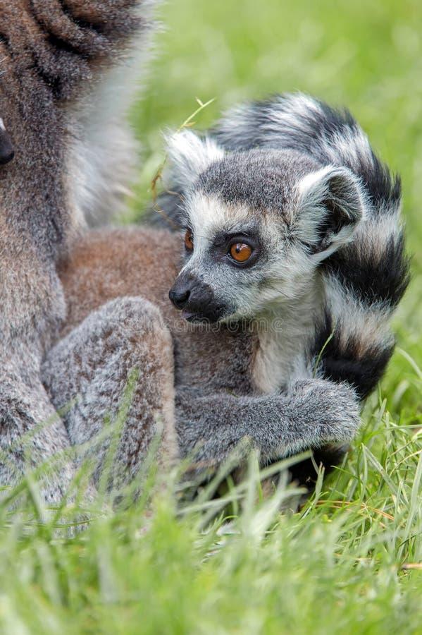 Lemur ring-tailed do bebê foto de stock royalty free