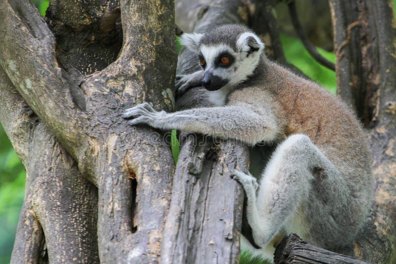 Lemur Ring-tailed (Lemur Catta) photo libre de droits
