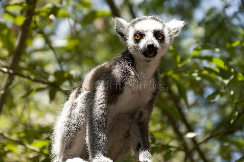 Lemur Ring-tailed (Lemur Catta) fotografia stock