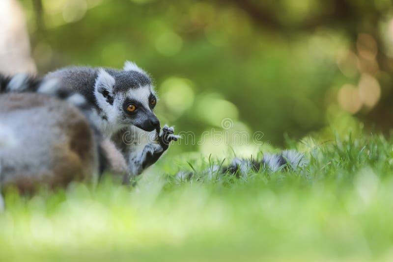 Lemur Ring-tailed (Lemur Catta) images libres de droits