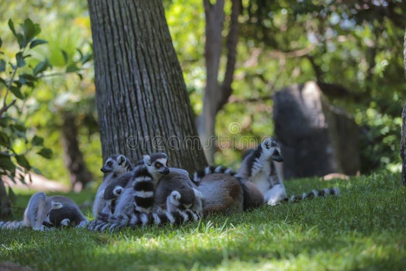 Lemur Ring-tailed (Lemur Catta) photo stock