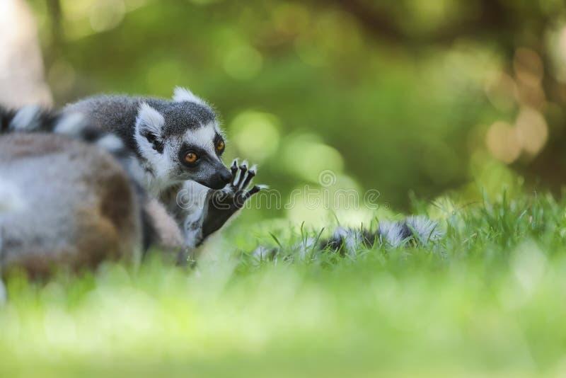Lemur Ring-tailed (Lemur Catta) imagenes de archivo