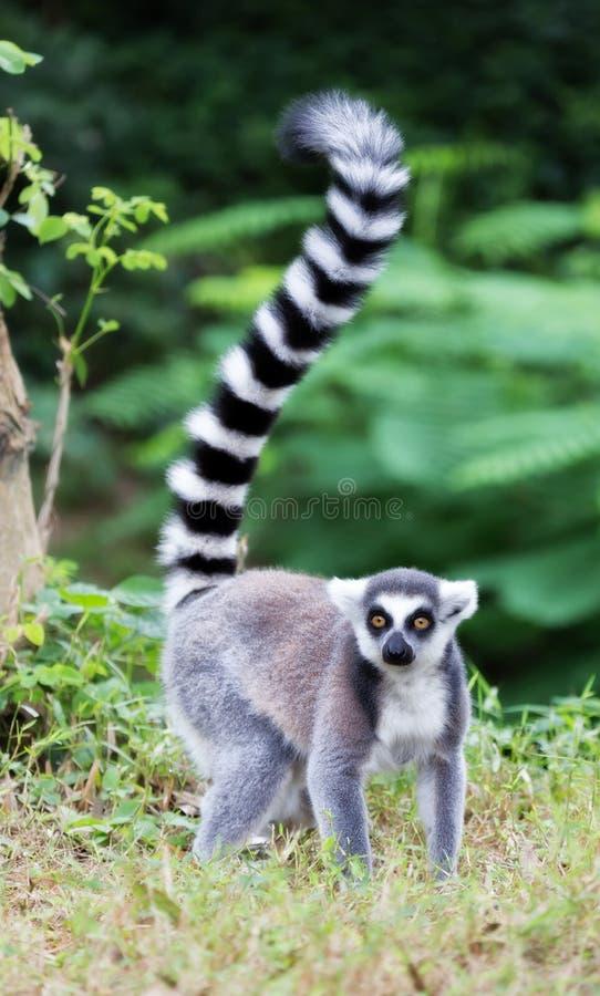 Lemur Ring-tailed (Lemur Catta) photographie stock libre de droits
