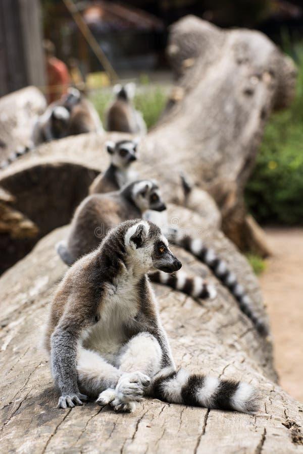 Lemur Ring-tailed (Lemur Catta) image libre de droits