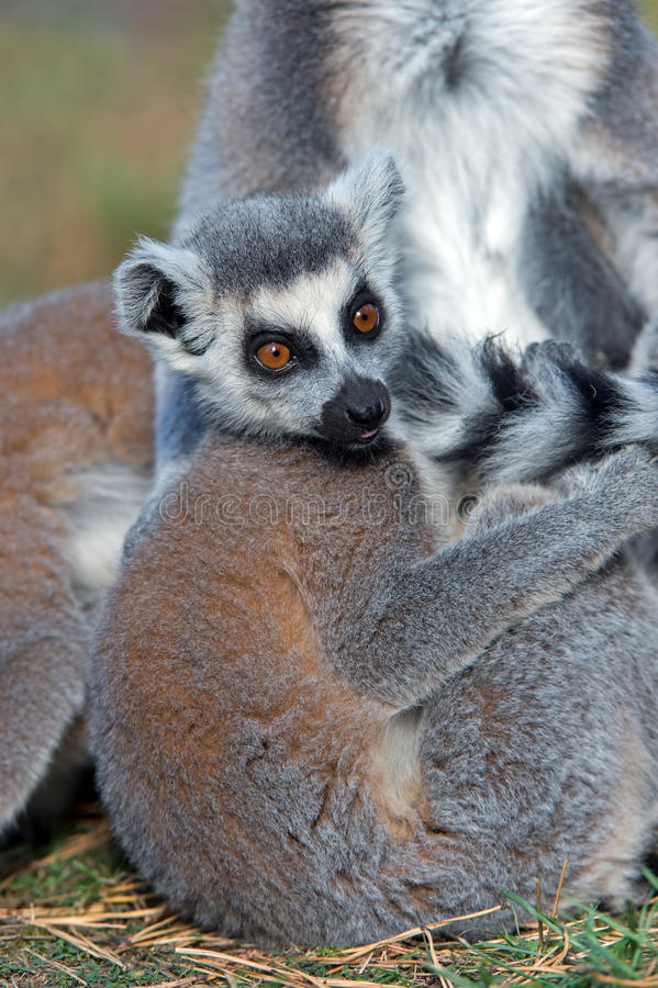 Lemur Ring-tailed (Lemur Catta) photo stock