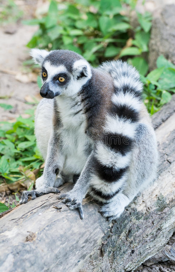 Lemur Ring-tailed (Lemur Catta) foto de stock royalty free