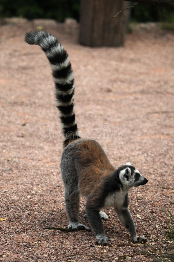 Lemur Ring-tailed (Lemur Catta) fotografia de stock royalty free