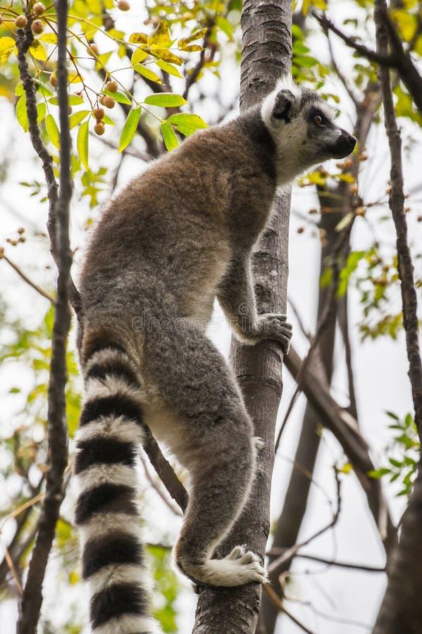 Lemur. Ring-tailed lemur in Madagascar, Africa royalty free stock images