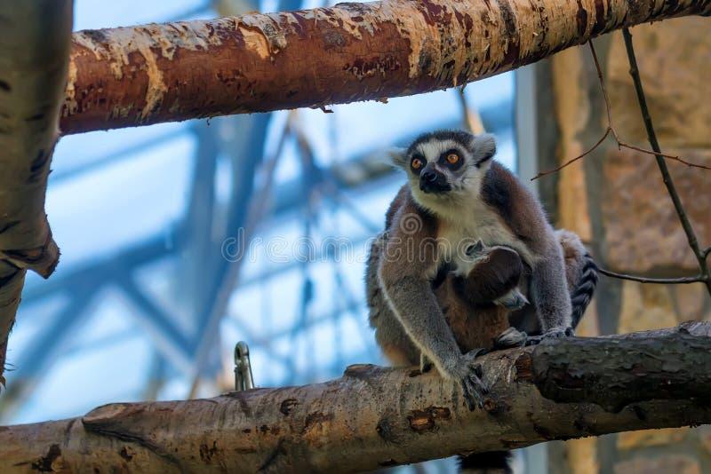 Lemur Ring-tailed ou catta de Lemur photos stock