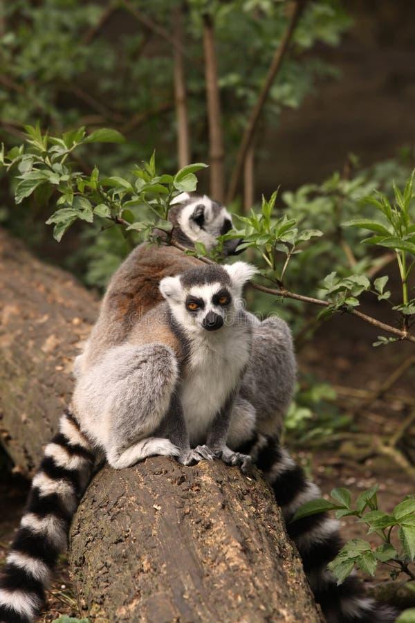 Lemur Ring-tailed que se sienta en un registro fotos de archivo libres de regalías