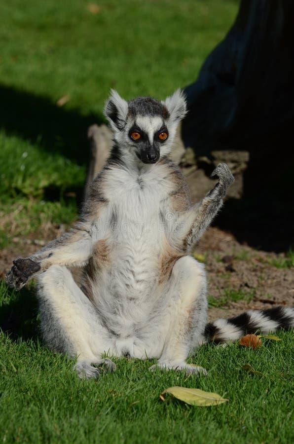 Lemur Ring-Tailed s'exposant au soleil images stock