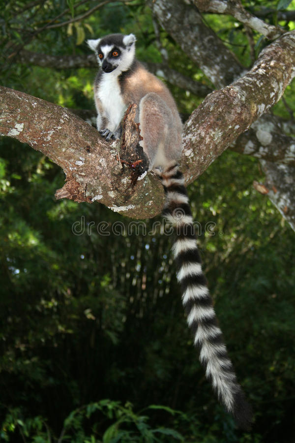 Lemur ring-tailed selvaggio, Madagascar fotografie stock libere da diritti