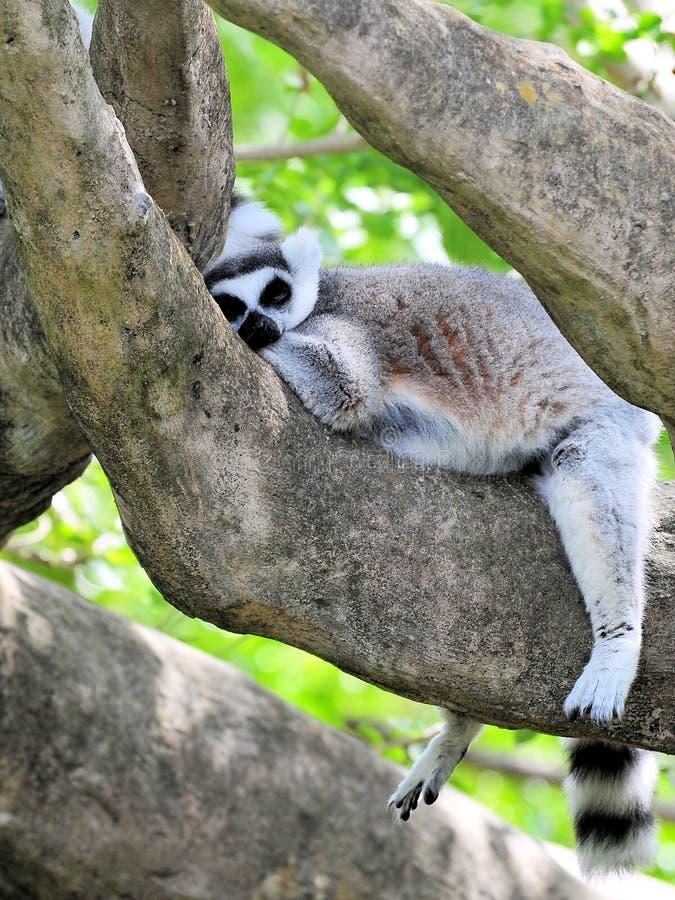Lemur Ring-Tailed somnolent image stock
