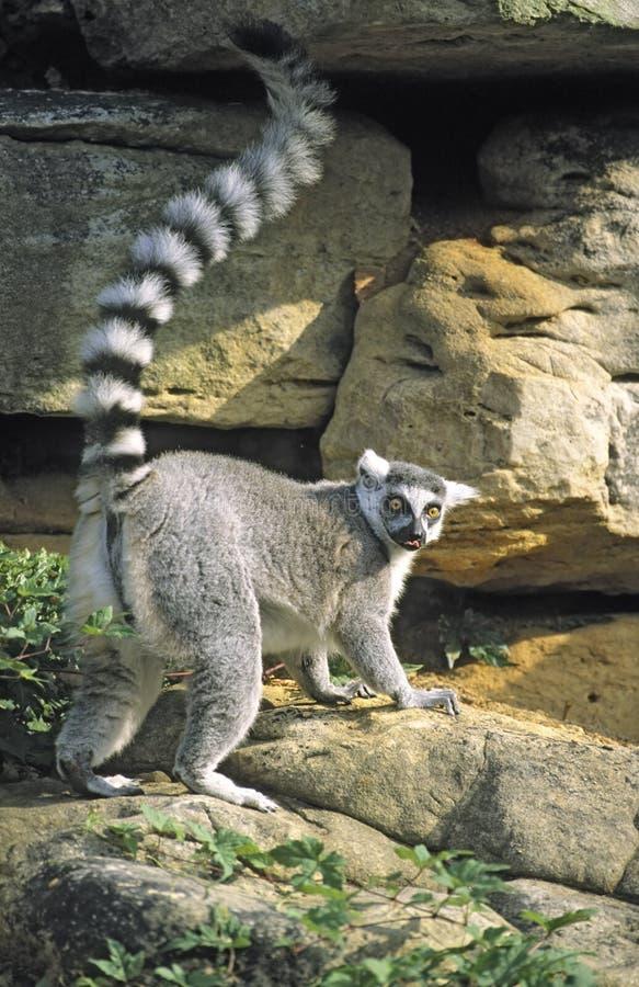 Lemur Ring-tailed soulevant l'arrière, langue à l'extérieur photo libre de droits