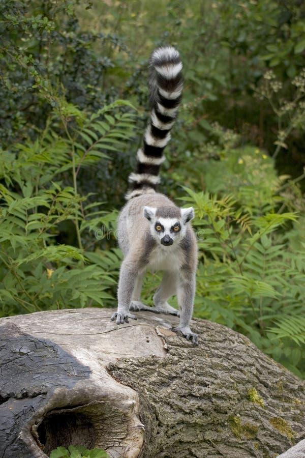 Lemur Ring-tailed sul ceppo di albero fotografie stock libere da diritti