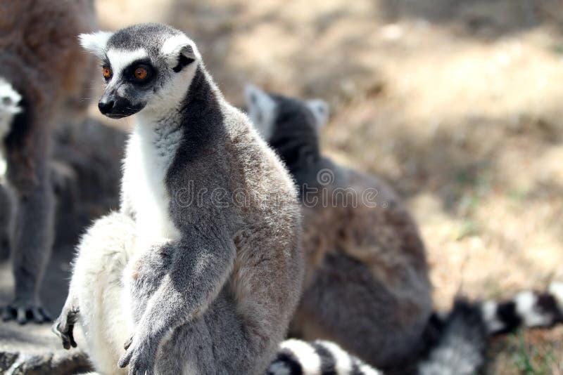 Lemur Ringtailed imagenes de archivo