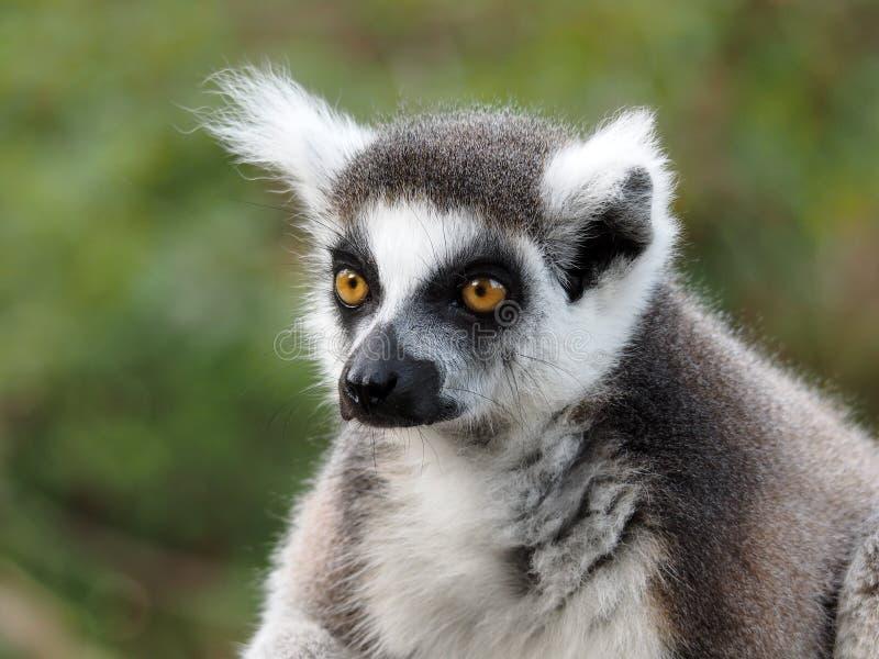 Lemur Ringtailed foto de stock