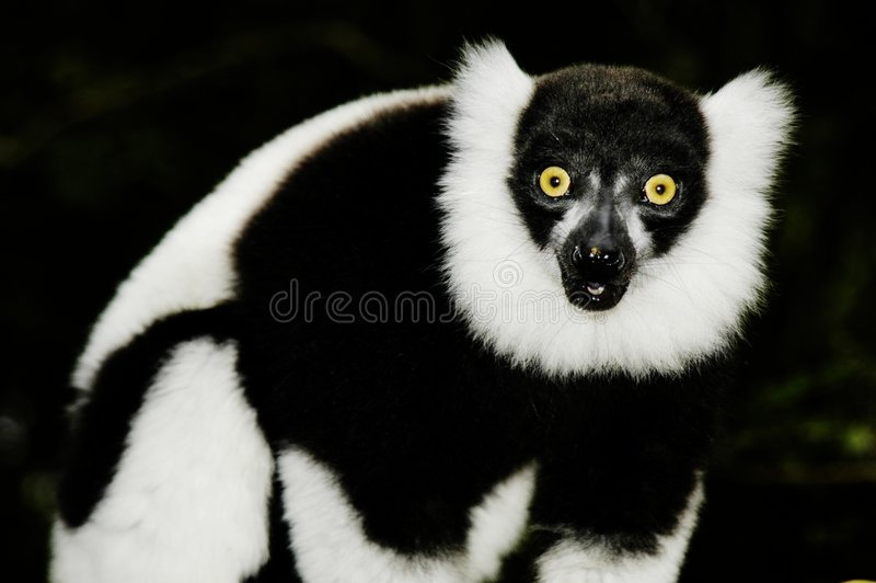 Lemur rizado (Varecia Variegata) imágenes de archivo libres de regalías