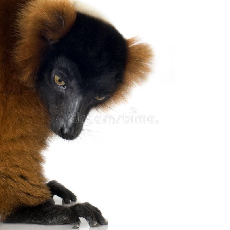 Lemur rosso di Ruffed immagine stock libera da diritti