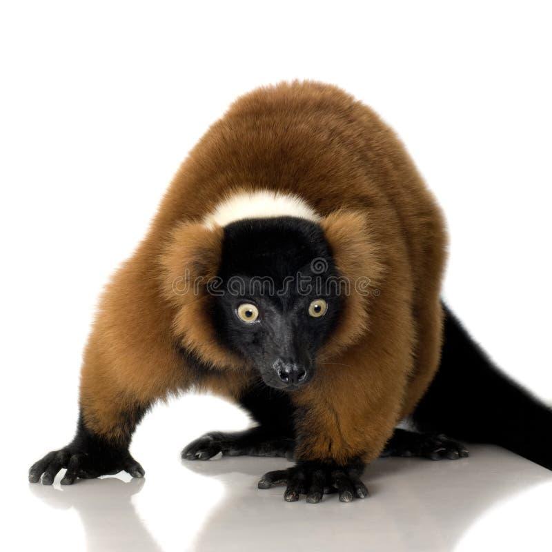Lemur rosso di Ruffed immagini stock