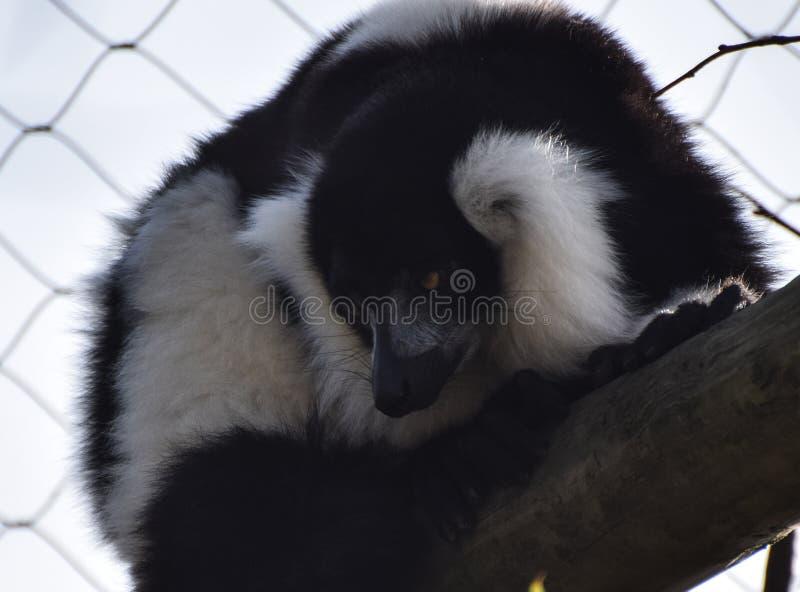 Lemur ruffed in bianco e nero fotografia stock