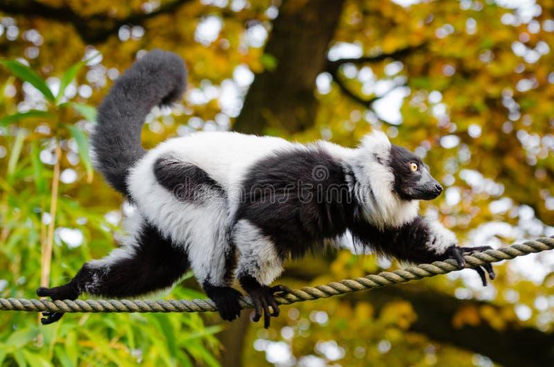 Lemur ruffed in bianco e nero fotografie stock