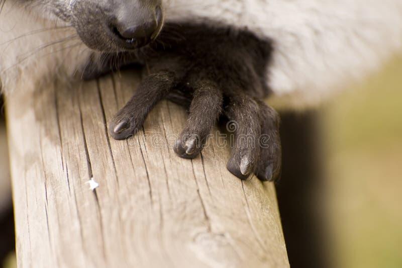 Lemur ruffed in bianco e nero nella prigionia immagine stock
