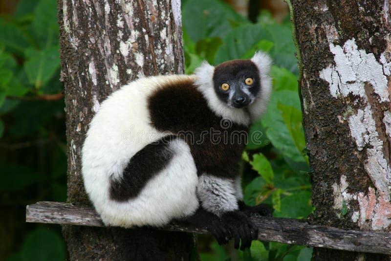 Lemur ruffed nero & bianco fotografia stock libera da diritti