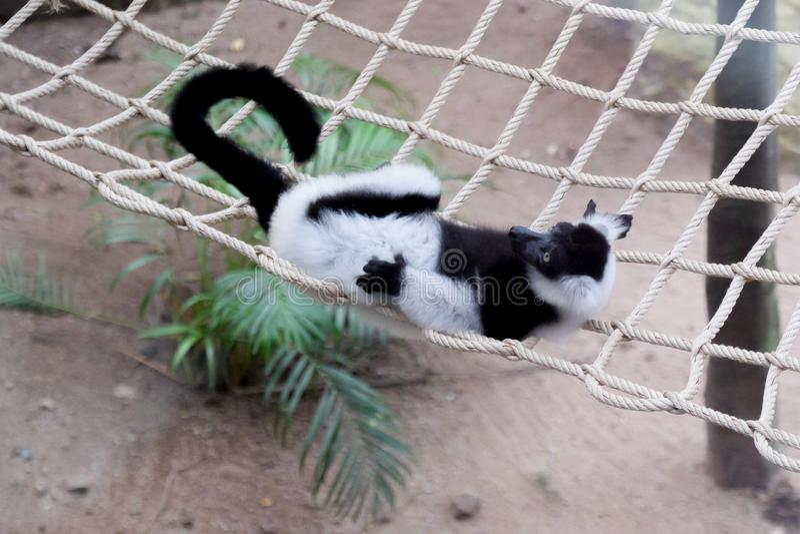 Lemur ruffed noir et blanc photo libre de droits