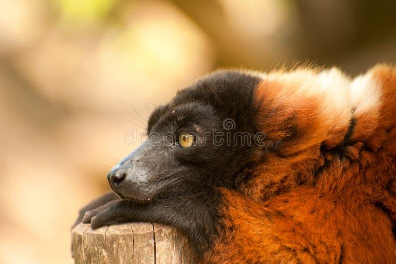 Lemur ruffed rosso fotografia stock