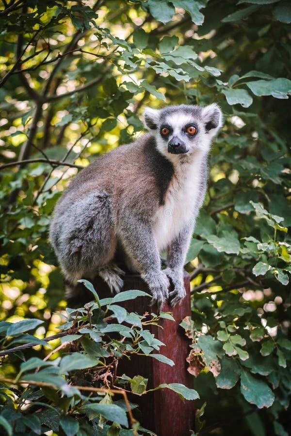 Lemur se reposant sur un arbre photo libre de droits