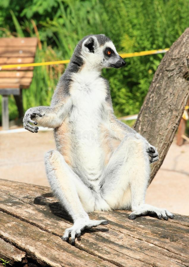 Lemur sitting on trunk. Lemur sitting on big trunk in comfortable position, having rest and sunbathing royalty free stock photos
