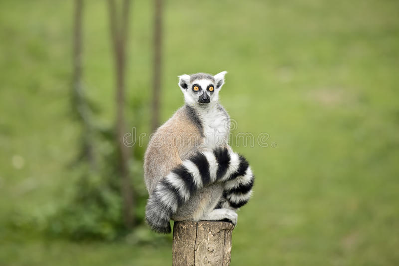 Lemur sitting on a log. Funny Lemur staring with big eyes stock photos