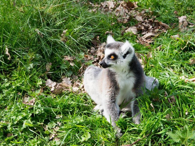 Lemur solitario imagenes de archivo