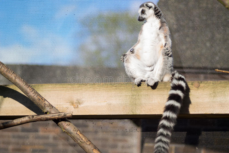Lemur sunbathing. In a compound against a wire compound in the south of England stock photo