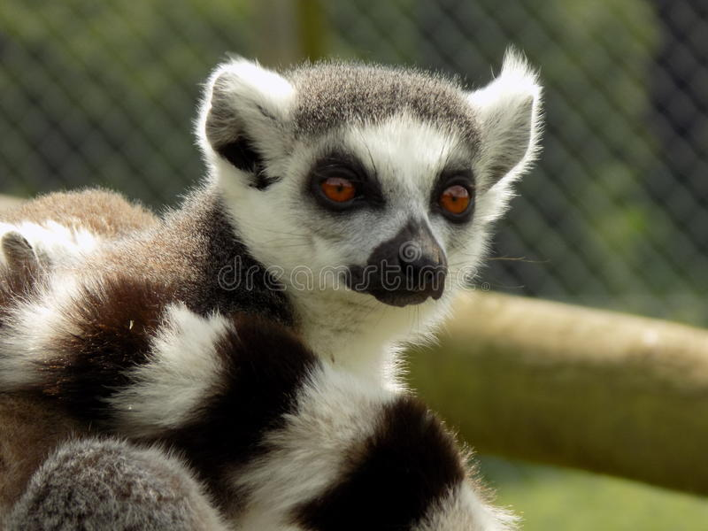 Lemur. Sunbathing and posing for the camera stock images