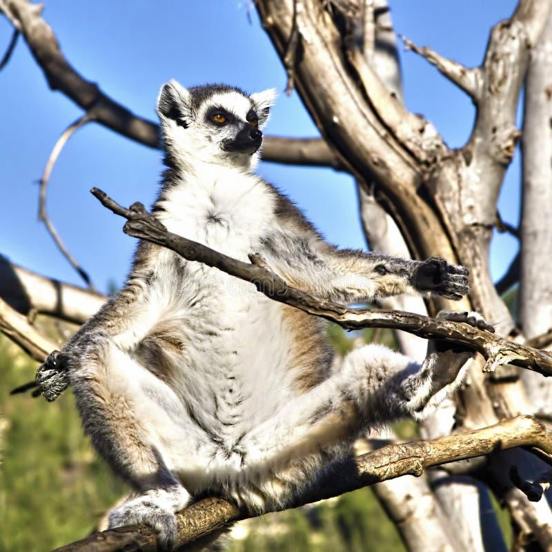 Lemur sunbathing. Ring-tailed lemur sunbathing after lunch stock photo