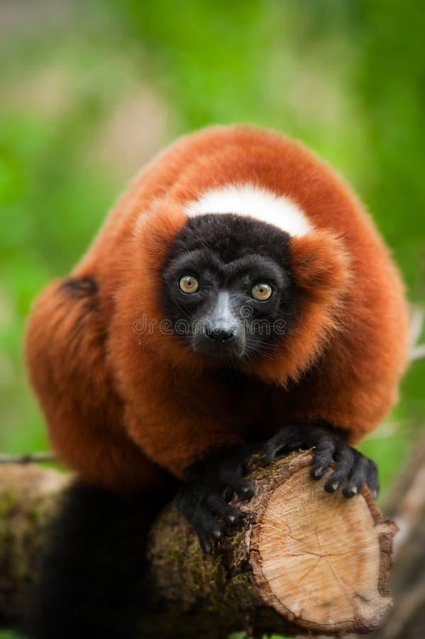 Lemur superado rojo foto de archivo libre de regalías