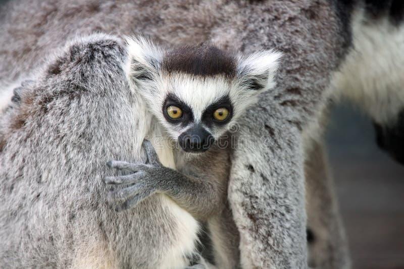 Lemur surpreendido do bebê imagens de stock