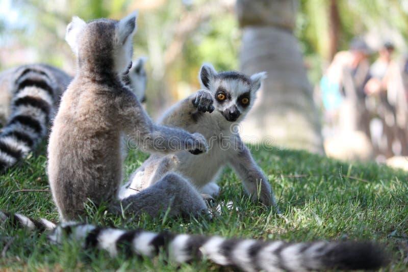 lemur sztuka obrazy stock