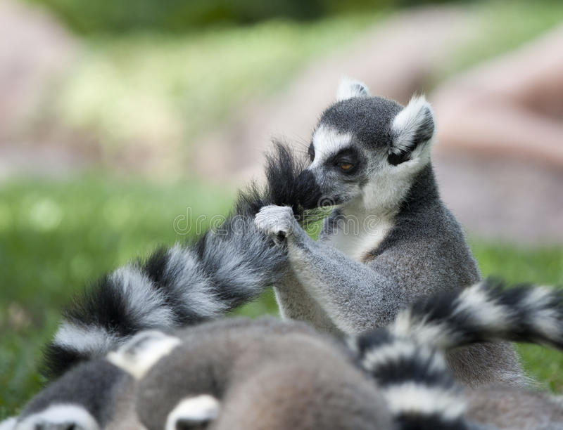 Download Lemur Tail Royalty Free Stock Images - Image: 26630129