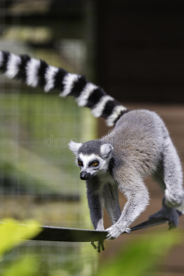Lemur on a tight rope stock images